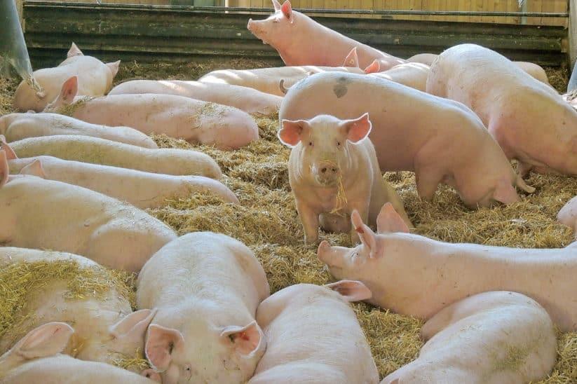 Konventioneller Betrieb mit Bio-Tierhaltung: Geht das