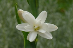 Blüte Tuberose