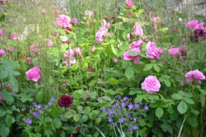 Rosen im Juni