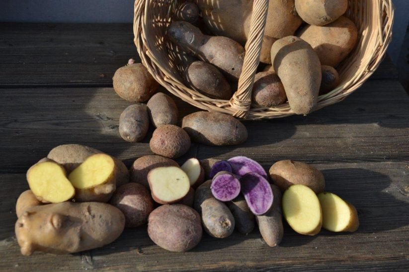 Kartoffeln setzen anbauen pflanzen Zeitpunkt Tiefe Abstand Frühkartoffeln Garten Hausgarten Hausacker Topf Balkon Heu